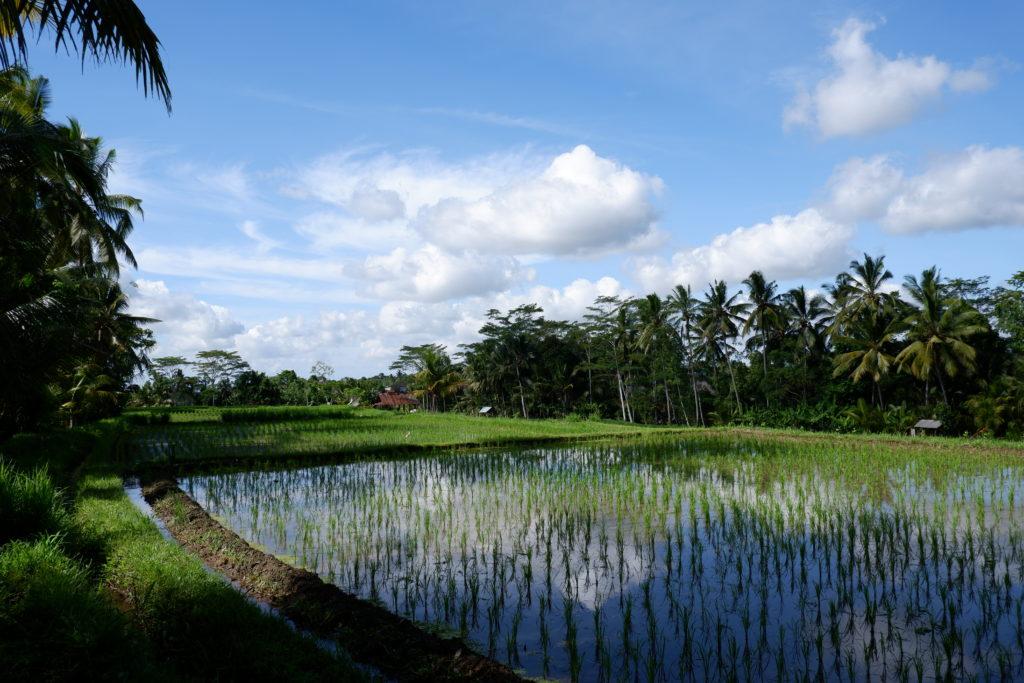 Rice fields in Kepitu village in Ubud, Bali